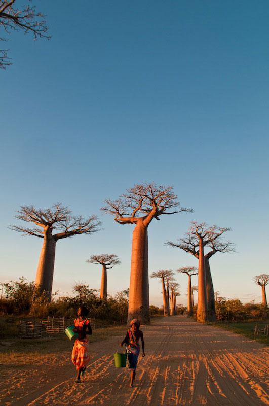 Baobabs1