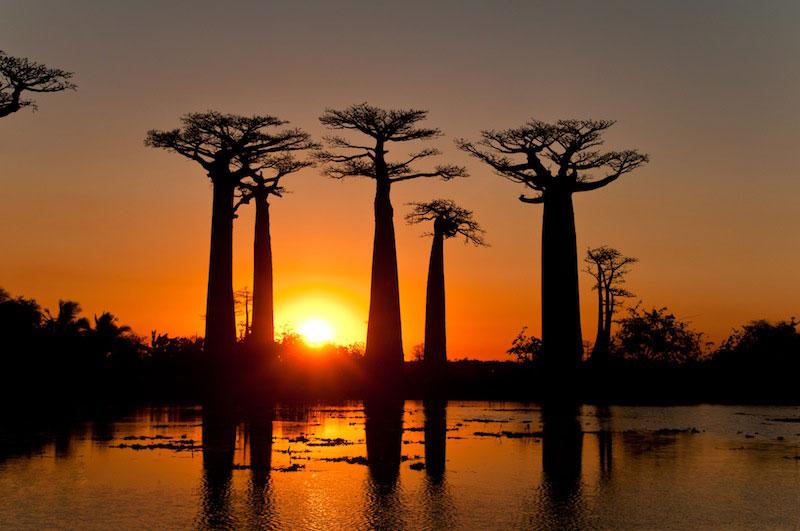 Baobabs2
