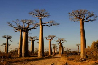 Baobabs3