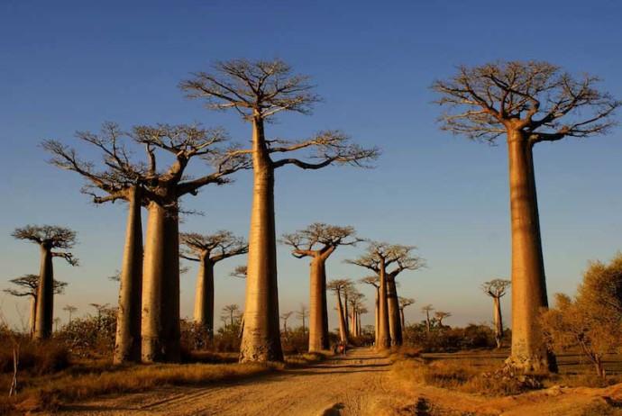 Baobabs3