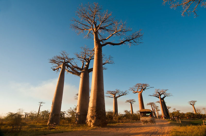 Baobabs5