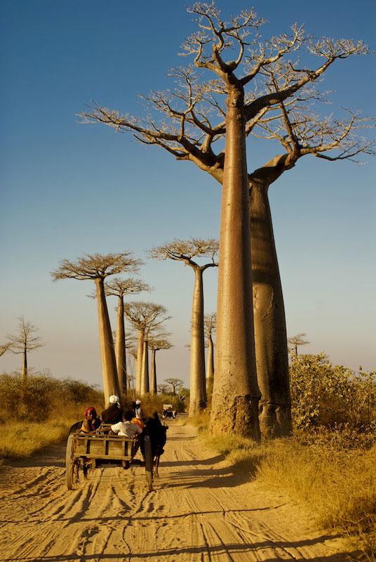 Baobabs6