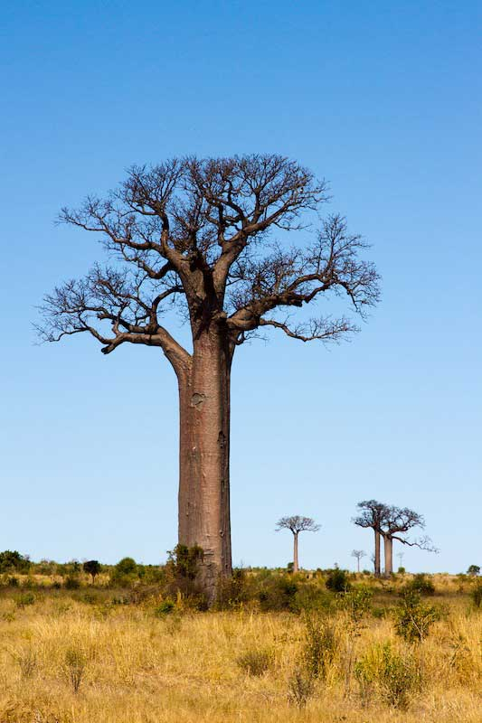 baobabs4